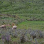 Neue Helfer - Shropshire Schafe