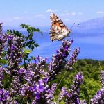 Hvar - eine Lavendelreise