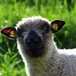Ankunft der Berglavendel-Schafe