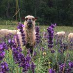 """Schafe bei der """"Lavendelpflege"""""""